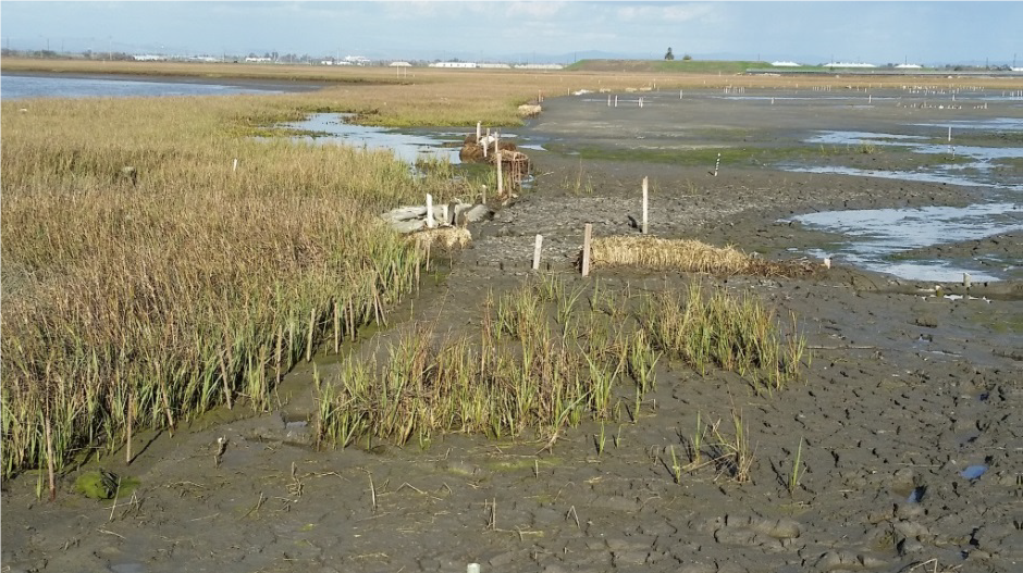 Seal Beach Sedimentation Augmentation Project. Cordgrass present in the sediment augmentation area (2017)
