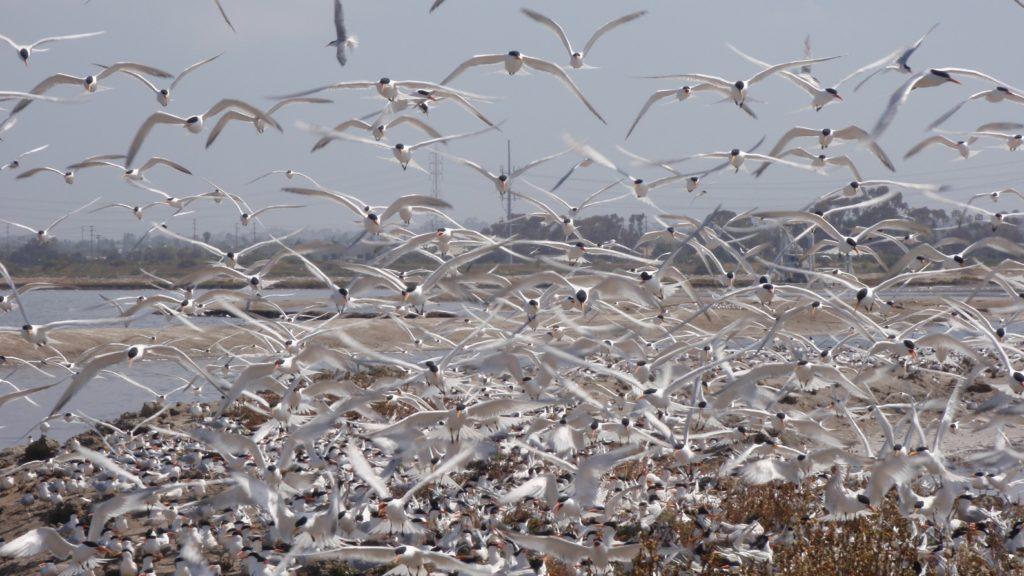 Elegant tern colony saltworks (May 5, 2010)
